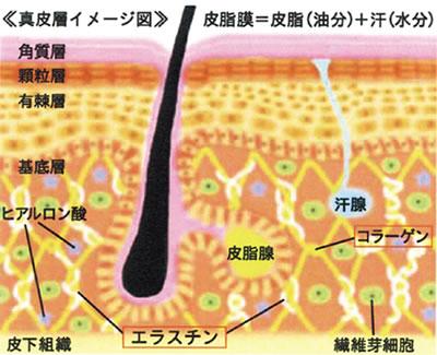 真皮層イメージ図